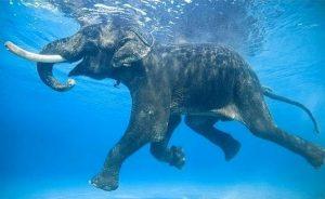 indo elephant