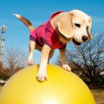 プリンちゃんはギネス記録を2つ持つビーグル犬!林先生の驚く初耳学